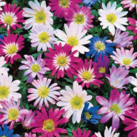 Blanda Mix, Anemone image number null