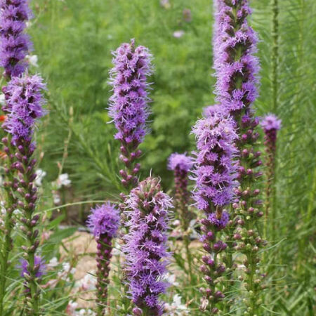 Gayfeather, Liatris Seeds - Packet image number null