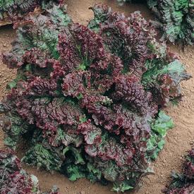 Gabriella, Lettuce Seeds