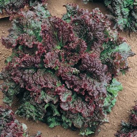 Gabriella, Lettuce Seeds - 500 Seeds image number null