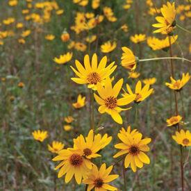 Western, Sunflower Seed