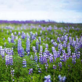 Texas Bluebonnet, Lupine Seeds