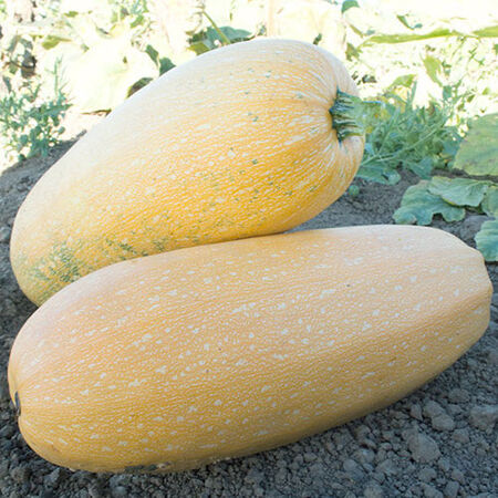 Goldetti F1, Squash Seeds - Packet image number null
