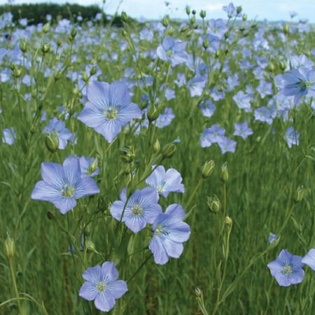 Common Flax, Brassicas - 1 Pound image number null