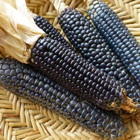 Rio Grande Blue, Corn Seed image number null