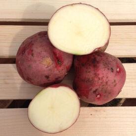 Red Pontiac, Seed Potatoes