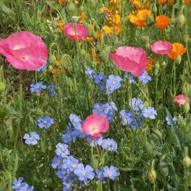 Dry Area Blend, Wildflower Seed