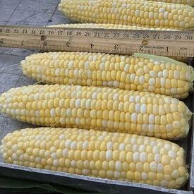 Everglades, (F1) Corn Seed