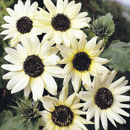 Italian White, Sunflower Seeds image number null
