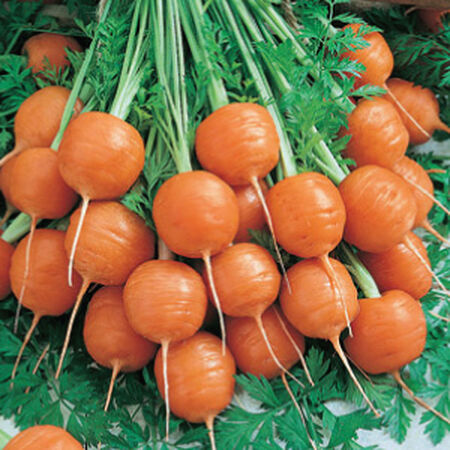 Parisian, Carrot Seeds image number null