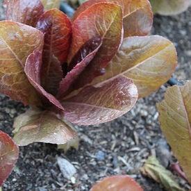 Merveille Four Seasons, Organic Lettuce Seeds