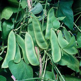 Woods Prolific, Bean Seeds