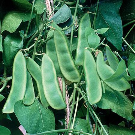 Woods Prolific, Bean Seeds - 1 Pound image number null