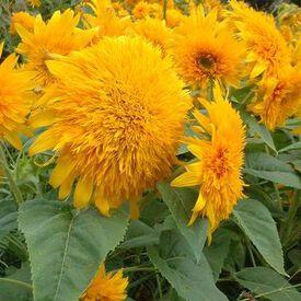 Goldie, (F1) Sunflower Seeds
