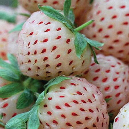 White Alpine, Strawberry Seeds - Packet image number null