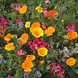 Northwest Native Mix, Wildflower Seed