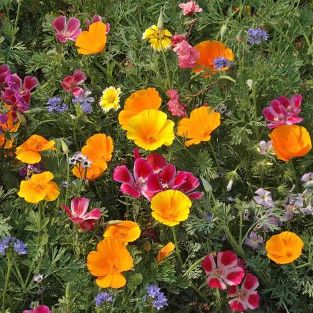 Northwest Native Mix, Wildflower Seed - 1 Ounce image number null