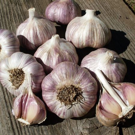 Purple Glazer, Garlic Seed image number null