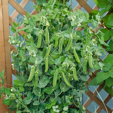 Patio Pride, Organic Pea Seeds image number null