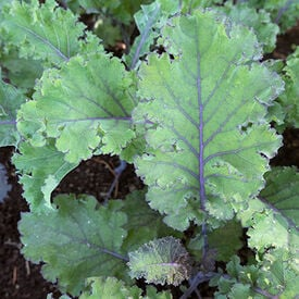 Scarlet, Kale Seed