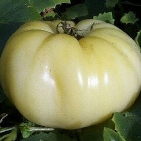 Great White, Tomato Seeds