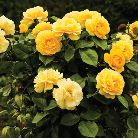 Yellow Bush, Rose Seeds image number null