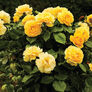 Yellow Bush, Rose Seeds - Packet thumbnail number null