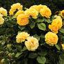 Yellow Bush, Rose Seeds thumbnail number null