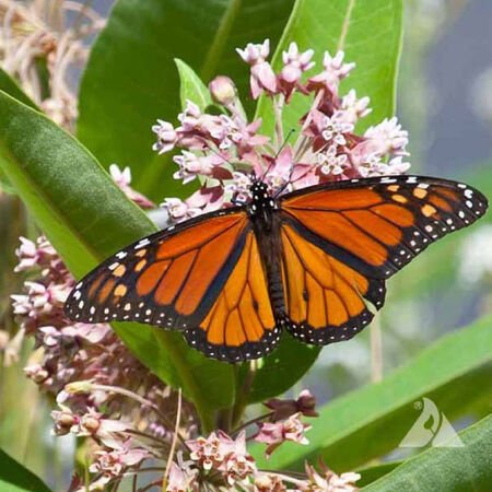 Common, Asclepias (Butterfly Weed) - Packet image number null