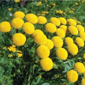 Common, Tansy Seed