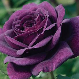 Purple Bush, Rose Seeds