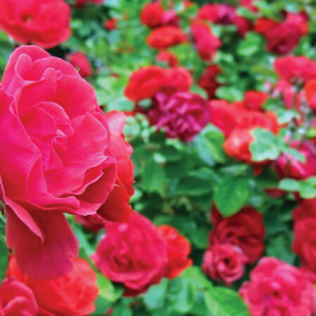 Red Climbing, Rose Seeds - Packet image number null