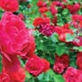Red Climbing, Rose Seeds - Packet thumbnail number null