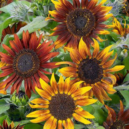 Mardi Gras Blend Tall, Sunflower Seeds image number null
