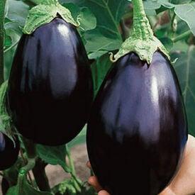 Black Beauty, Eggplant Seeds