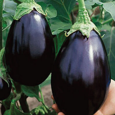 Black Beauty, Organic Eggplant Seeds - Packet image number null