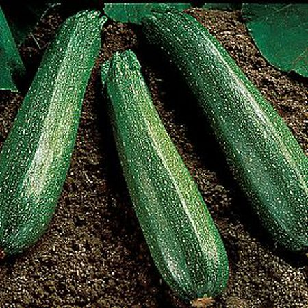 Spineless Beauty, Zucchini Seeds - Packet image number null