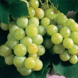 Niagara, Grape Plants