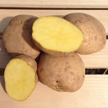 Yellow Finn, Seed Potatoes - 2 Pounds image number null