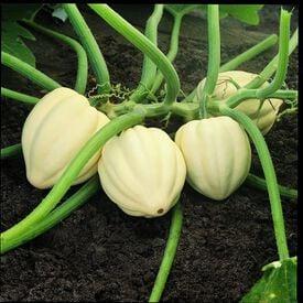 Cream of the Crop, Squash Seeds