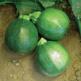 Round, Zucchini Seeds