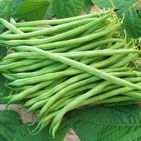 Landreth Stringless, Bean Seeds