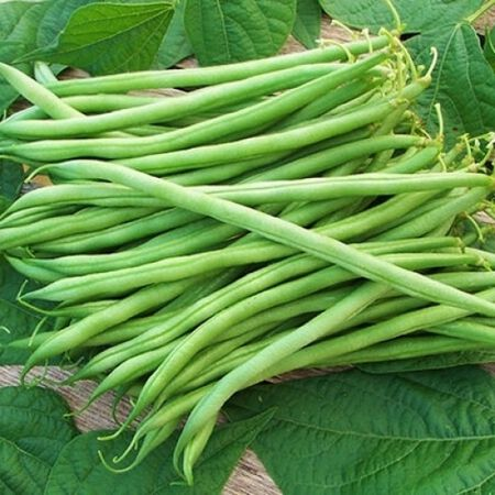Landreth Stringless, Bean Seeds image number null