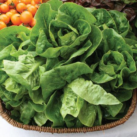 Little Gem, Lettuce Seeds - Packet image number null