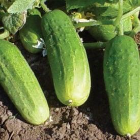 Pioneer, (F1) Cucumber Seeds