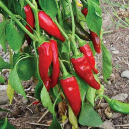 Guajillo, Pepper Seeds image number null