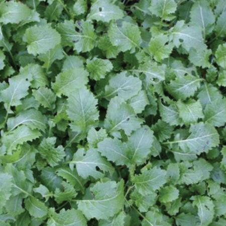 Dwarf Essex Rape, Brassicas - 1 Pound image number null