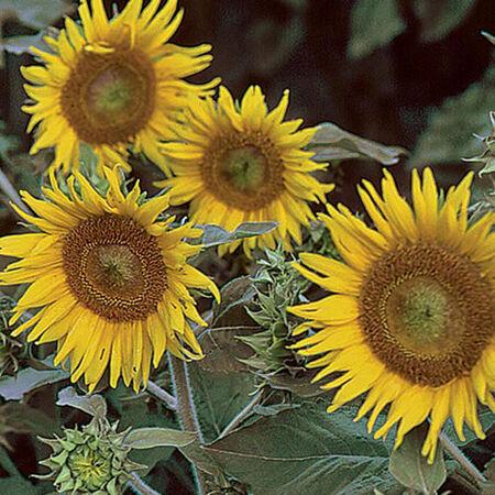 Irish Eyes, Sunflower Seeds - 50 Seeds image number null