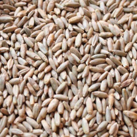 Winter Rye, Grains - 1 Pound image number null