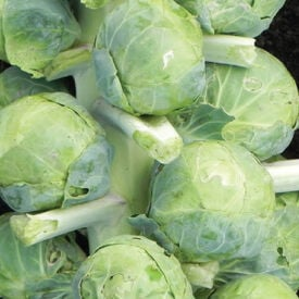 Gustus, (F1) Brussels Sprout Seeds